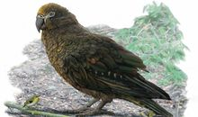 This Chonky Ancient Bird Is the World's Largest Known Parrot