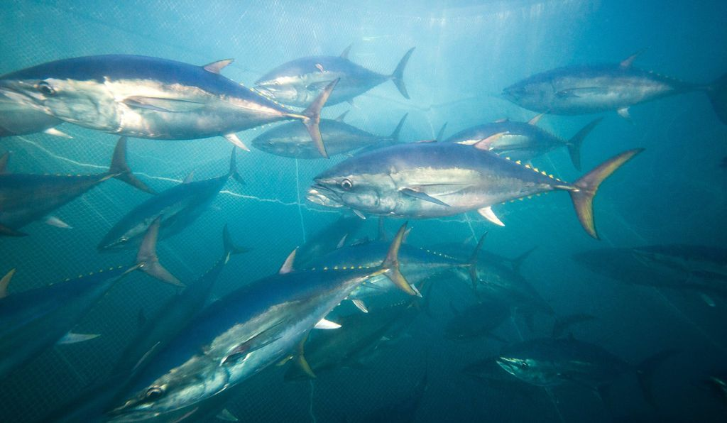 After they hatch, young southern bluefin tuna are swept along the coast of Western Australia from their spawning grounds near Indonesia. Some that continue east, into the Great Australian Bight, are captured for aquaculture.