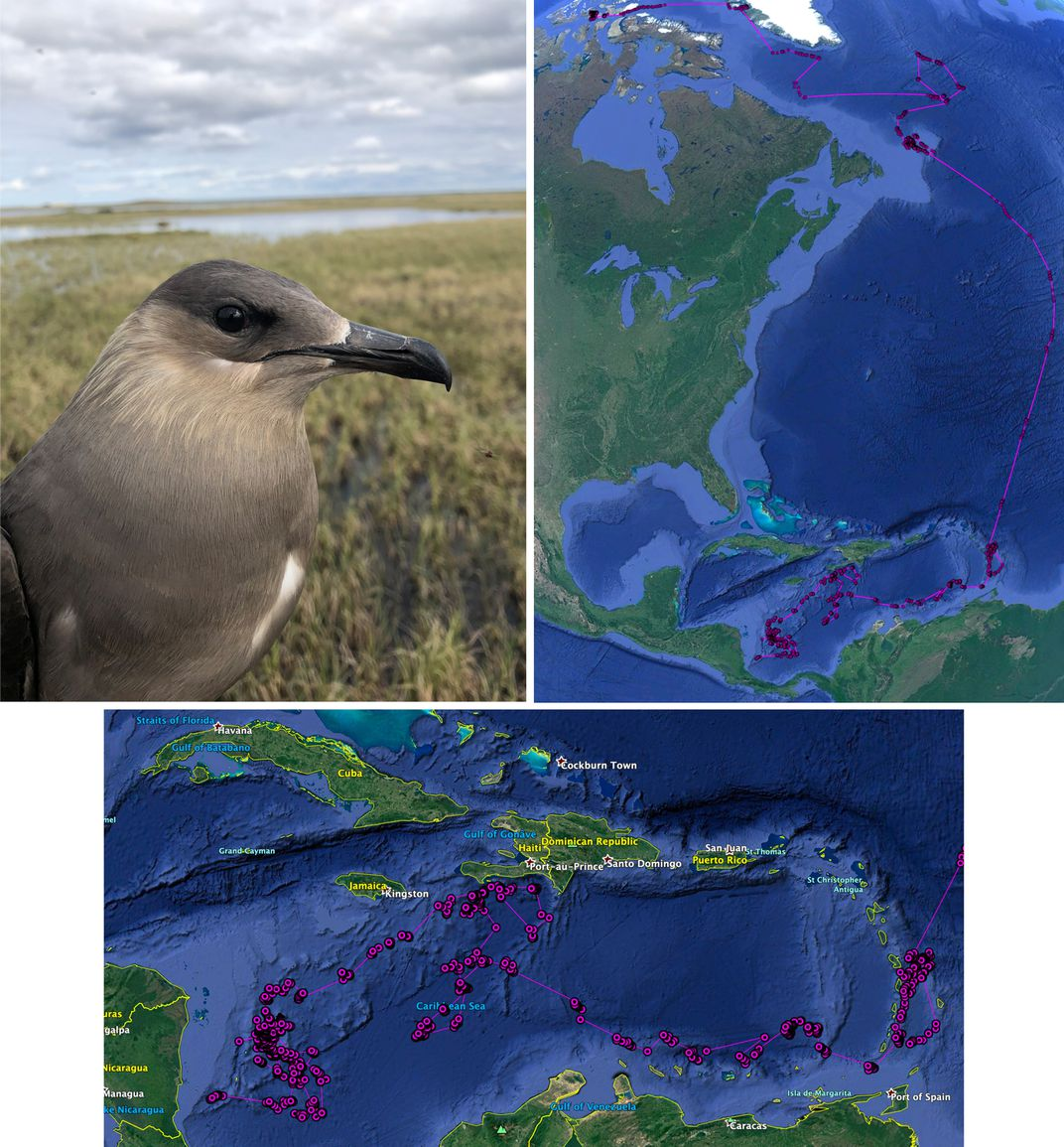 Top left: a seabird called a parasitic jaeger; top right: a map of the jaeger's migratory path from the Arctic to Caribbean; bottom: zoomed-in portion of map of jaeger's movement over Caribbean Sea