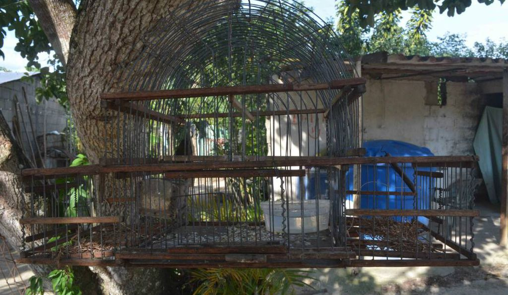 Trappers use a two-compartment cage (above) holding a live male bird that sings from one side. Territorial males will come by to check out their potential rival and get trapped in the other compartment of the cage once they enter.