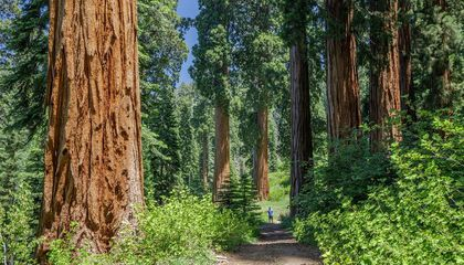World's Largest Privately-Owned Giant Sequoia Grove Is for Sale