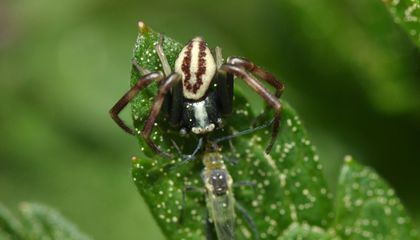 Spiders Eat Up to 800 Million Tons of Prey Each Year