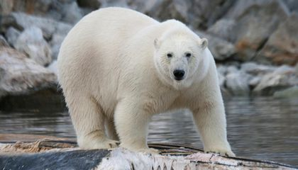 Polar Bears are Eating Dolphins, Probably Thanks to Climate Change