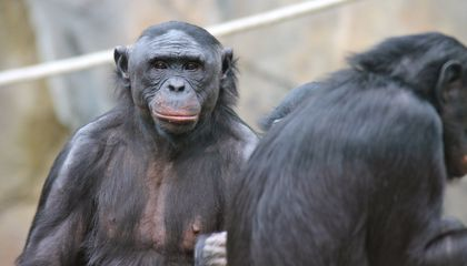 Humans Like Helpers, But Bonobos Prefer Bullies