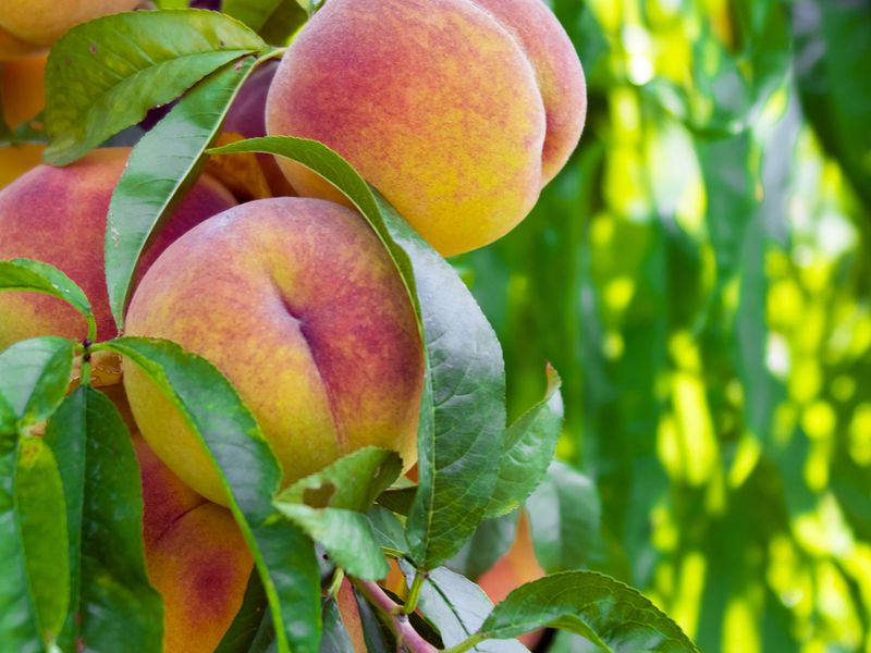 The Fuzzy History of the Georgia Peach | History | Smithsonian