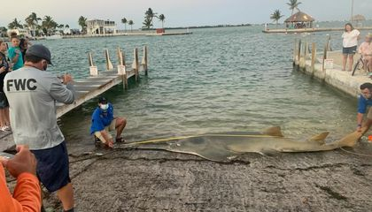 Record-Breaking 16-Foot-Long Sawfish Washes Ashore in the Florida Keys