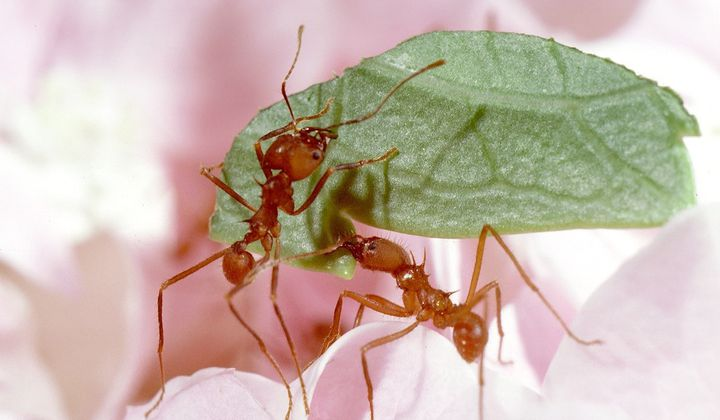 Through research on living and preserved fungus-farming ants, entomologists are learning more about the insects' deep connection to their environment and how that relationship might evolve in response to a changing climate. (Smithsonian)