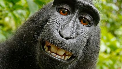 If a Monkey Takes a Photo, No One Owns Copyright