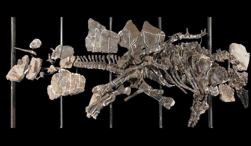 This <em>Stegosaurus</em> fossil is actually the type specimen for its species, the first of its kind to be discovered and named.