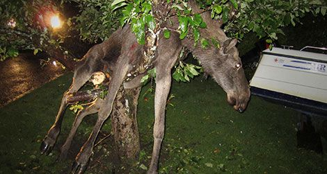 The moose likely got drunk eating apples fermenting on the ground.