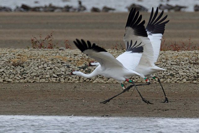 The hopeful mid-century conservation story of the (still endangered) whooping crane