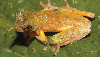Meet the Newly Described Long-Nosed Pinocchio Frog