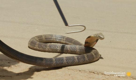 Preview thumbnail for video'Watch a Man Snatch an Angry Cobra With His Bare Hands