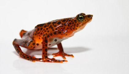 World's Deadliest Pathogen On Record Devastates More Than 500 Amphibian Species—and We Don't Know How To Stop It