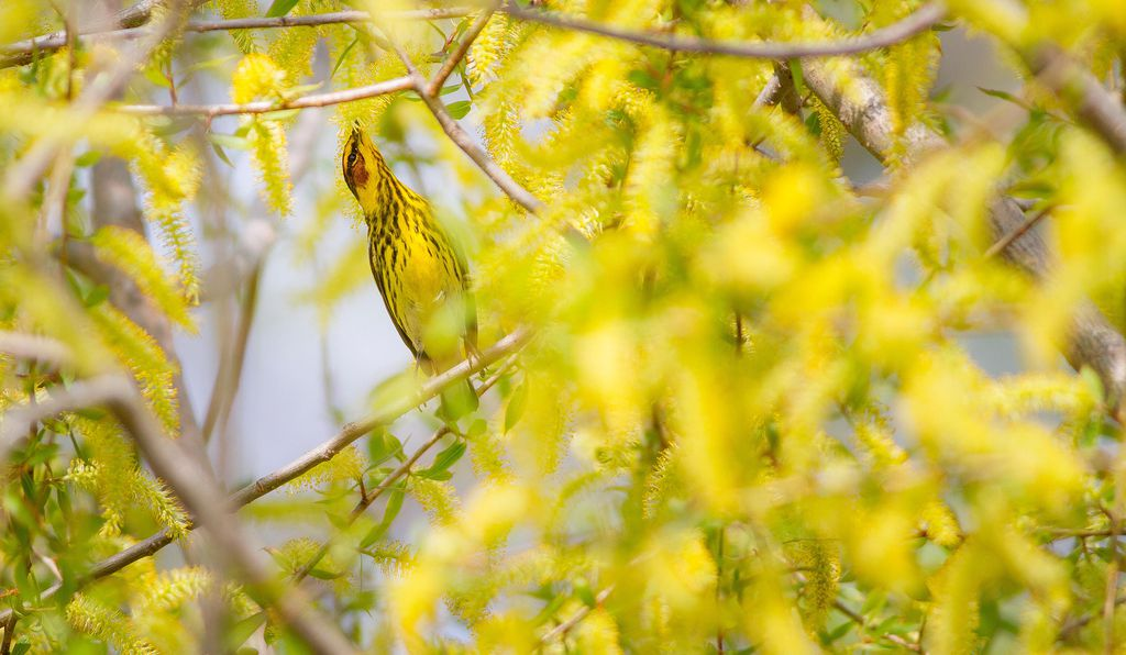 A Cape May Warbler on the shores of Lake Erie.