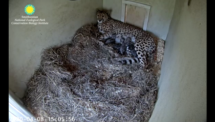Watch Live as the National Zoo's Cheetah Gives Birth to a Litter of Cubs