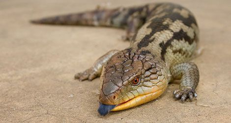 The bluetongue skink. Note the blue tongue.