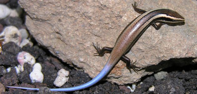 An Aguilla Bank skink, one of the 24 new species discovered