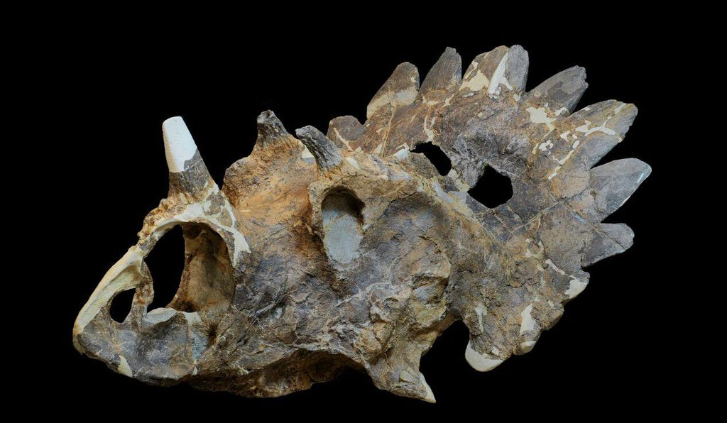 The skull of the new horned dinosaur, which has traits that suggest there may be many similar species left to be discovered.