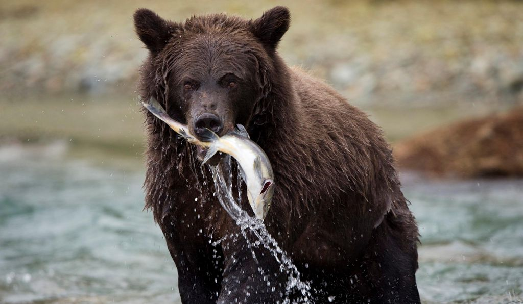 At one time there were more than 50,000 grizzly bears in North America. Today that number has fallen to an estimated 1,800 in the lower 48 states and 31,000 in Alaska.