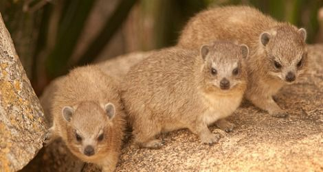 Rock hyraxes in Serengeti National Park, Tanzania