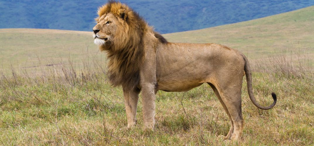 Lion in Ngorongoro Crater
