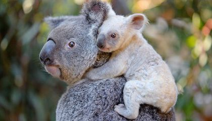 Image: Australian zoo asks for help naming rare white koala
