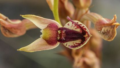 Extremely Rare Orchid Tricks Horny Beetles Into Carrying Its Pollen