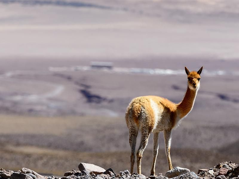 Vicuna in Chile