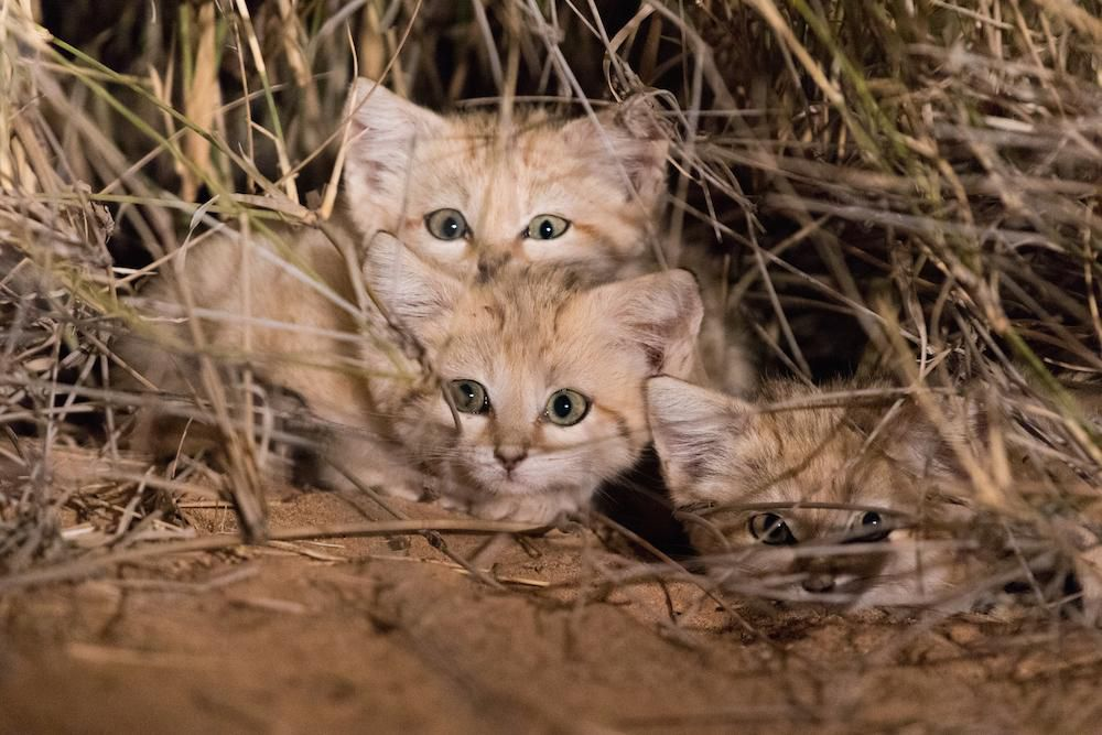 Sand Cats 2