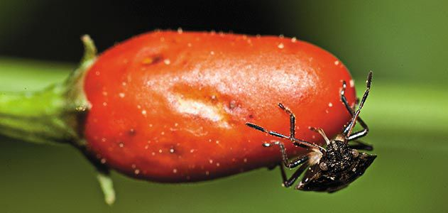 Bug on chili pepper