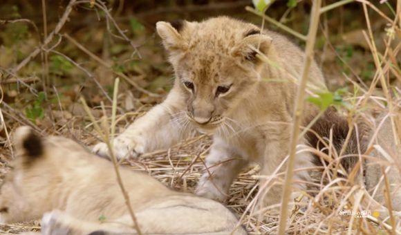 Preview thumbnail for video'Is Sibling Rivalry an Important Survival Tool for Lion Cubs?