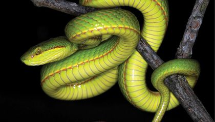 Meet the New Species of Snake Named After Salazar Slytherin of the Harry Potter Franchise