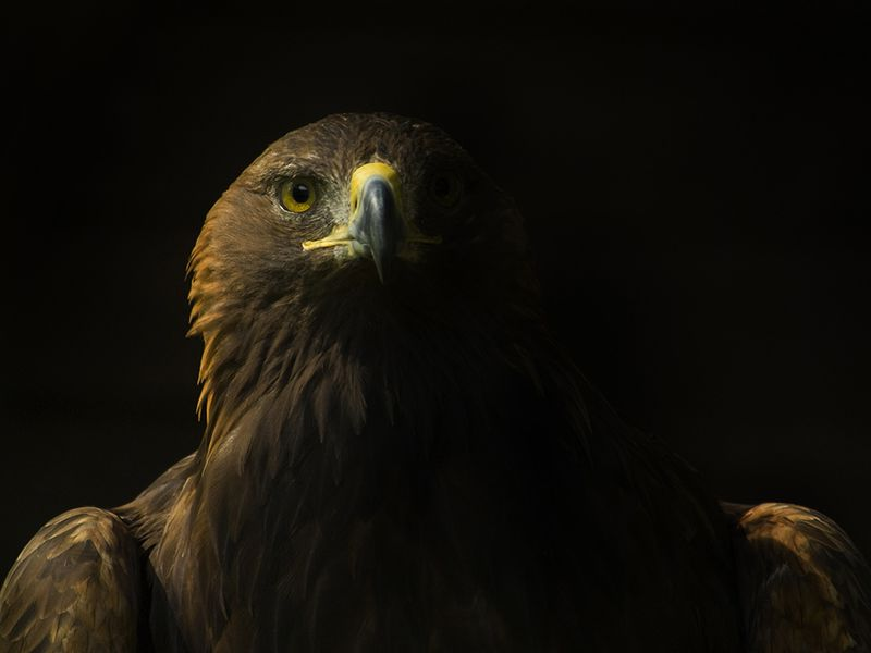 The Deadly and Devious Golden Eagle | Science | Smithsonian