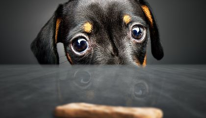 Dogs Use Deception to Get Treats, Study Shows