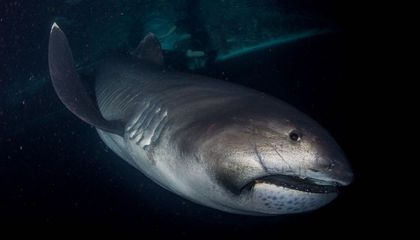 a view from the front of a shark underwater.