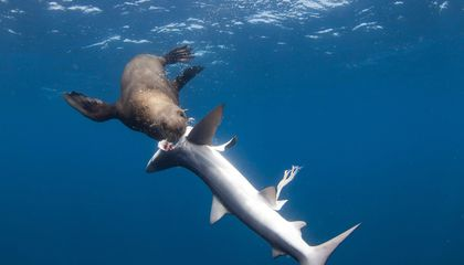Fur Seals Caught Preying on Sharks Off South Africa