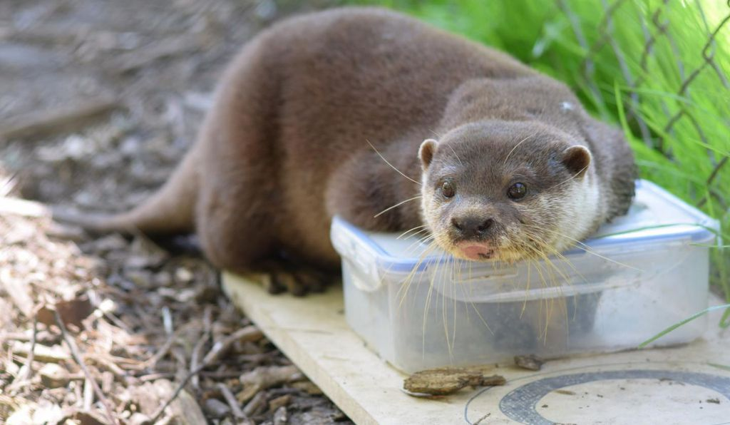 The researchers designed five wood-and-plastic puzzles, and when an otter solved one, it could reach the beef meatball hidden inside.