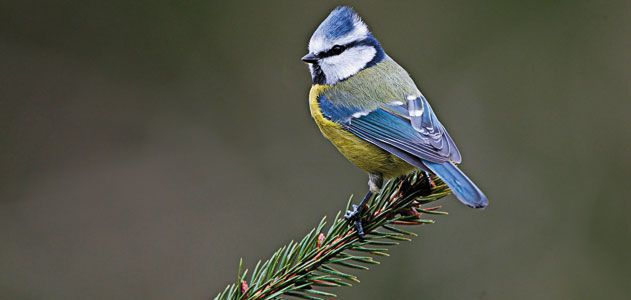 Wild-Things-blue-tit-songbird-631.jpg