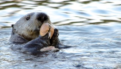 Unlike Dolphins, Sea Otters That Use Tools Are Not Closely Related