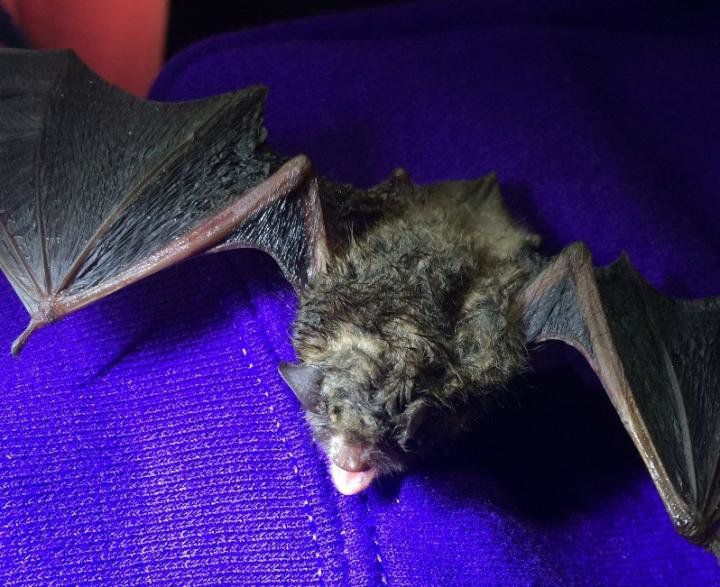 Uv Light Could Help Stop The Bat Killing White Nose Syndrome