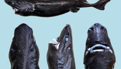 A New Species of Shark Gives a Hat Tip to Both Jaws and Ninjas