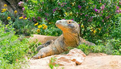 Captive Komodo Dragons Share Their Teeming Microbiome with Their Environment, Just Like Us