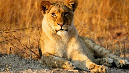 Drought Forces Zimbabwe to Sell Its Wild Animals