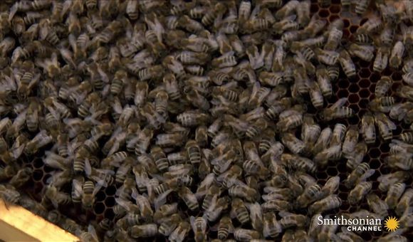 Preview thumbnail for video'Why Honey Bees are Crucial Employees at this Airport
