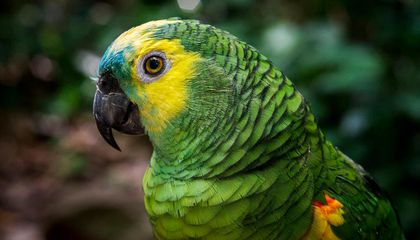 Parrot Genes Reveal Why the Birds Are So Clever, Long-Lived