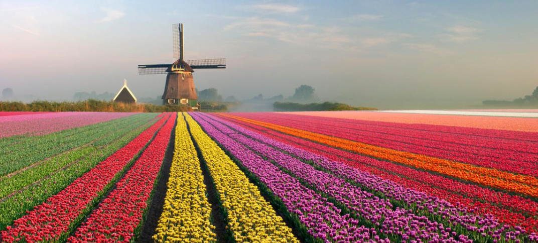Flower field with windmill in background