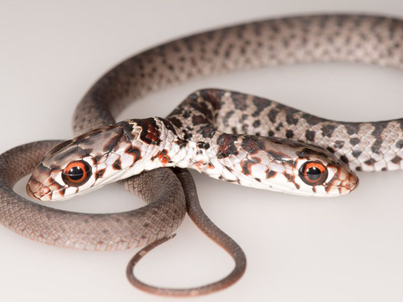 Close-up of the two-headed juvenile black racer snake with its heads pointed in opposite directions