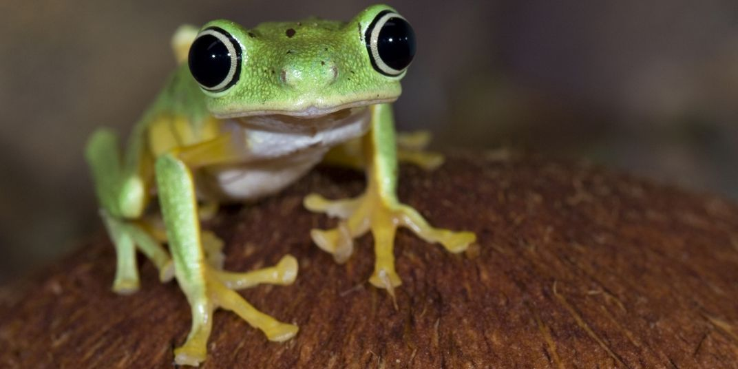 A small green and yellow frog with large, round eyes and un-webbed digits (called a lemur leaf frog) stands on a wooden surface.