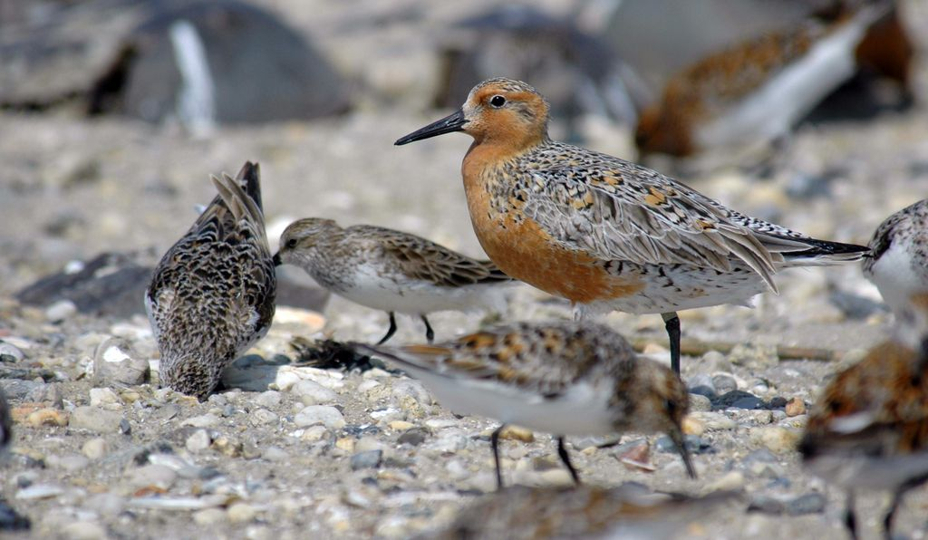 The red knot, a shoreline bird with range reaching from the Arctic to the Delaware Bay, will be among the North American migratory birds on display in the National Zoo's new bird house in 2021.